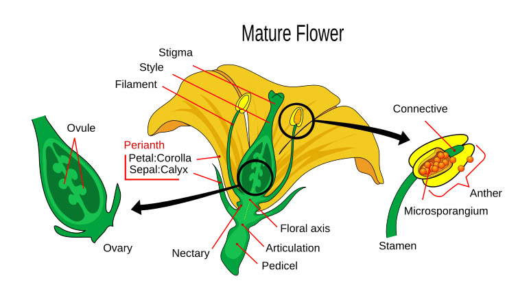 The Male and Female reproductive parts of a flower